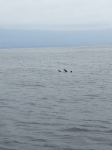 This is the way Sea Lion's rest at sea, with their fins sticking up