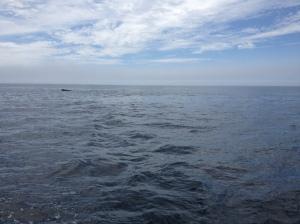 Fin Whale?