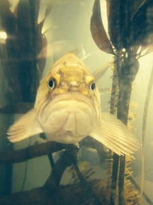 This is a rock fish.  I tried to get him to smile, no luck.