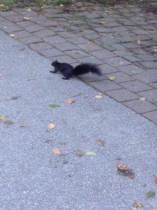 The squirrels are almost black here