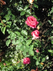 Roses in their second bloom at Butchart Gardens