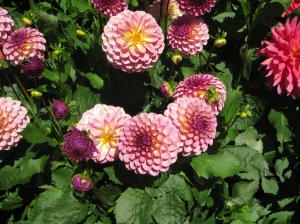 Thousands of Dahlia's at the Butchart gardens