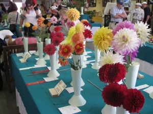 Prize willing Dahlias