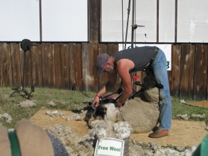 Sheep shearing demonstration
