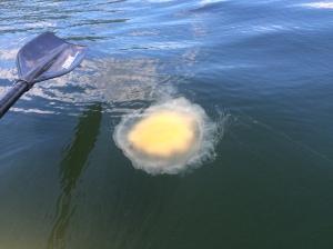 One of the giant jellyfish around here