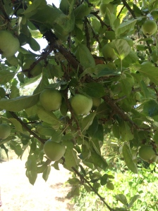 Apples growing on Russell Island