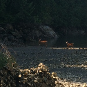 Deer at Melanie Cove
