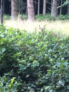 James Island deer