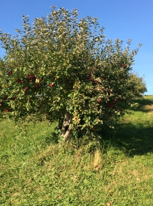 Apple tree at the orchard