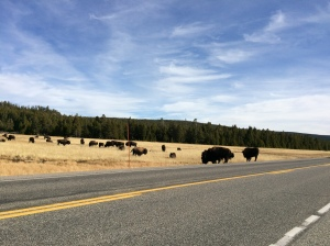 Yellowstone herd of buffalo